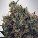 Ultra White Amnesia (Ministry of Cannabis) feminizada