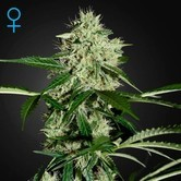 Northern Lights Autoflowering (Greenhouse Seeds) feminizada