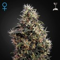 Sweet Mango Autoflowering (Greenhouse Seeds) feminizada