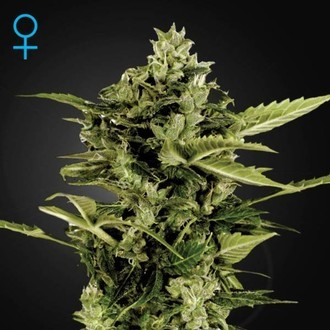 Auto-Bomb Autoflowering (Greenhouse Seeds) feminizada