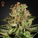 Super Bud (Greenhouse Seeds) feminizada