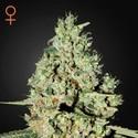 Super Critical (Greenhouse Seeds) feminizada