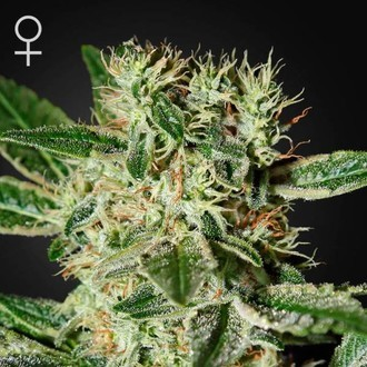 Ladyburn 1974 (Greenhouse Seeds) feminizada