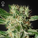 Ladyburn 1974 (Greenhouse Seeds) feminizada