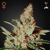 Chemdog (Greenhouse Seeds) feminizada