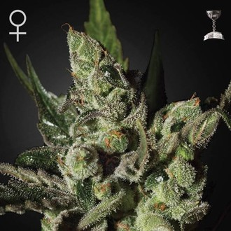 Exodus Cheese (Greenhouse Seeds) feminizada