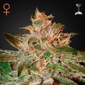 Pure Kush (Greenhouse Seeds) feminizada