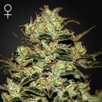 Moby Dick (Greenhouse Seeds) feminizada