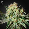 Damn Sour (Greenhouse Seeds) feminizada