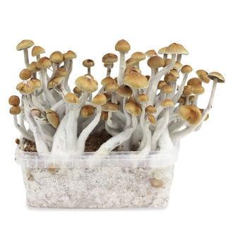 Kit de Cultivo Zamnesia 'Mazatapec'