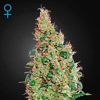Green-O-Matic (Greenhouse Seeds) feminizada