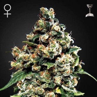 Jack Herer (Greenhouse Seeds) feminizada