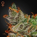 King's Kush (Greenhouse Seeds) feminizada
