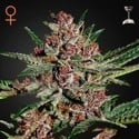 Bubba Kush (Greenhouse Seeds) feminizada