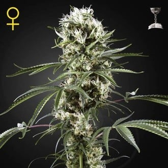 Super Lemon Haze (Greenhouse Seeds) feminizada