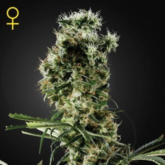 Arjan's Haze 2 (Greenhouse Seeds) feminizada