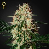 Arjan's Haze 3 (Greenhouse Seeds) feminizada