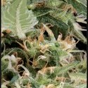 Arjan's Ultra Haze 1 (Greenhouse Seeds) feminizada