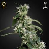 Arjan's Ultra Haze 2 (Greenhouse Seeds) feminizada