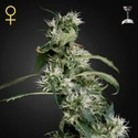 Arjan's Ultra Haze 2 (Greenhouse Seeds) feminizada