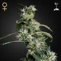 Mango Haze (Greenhouse Seeds) feminizada