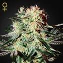 Arjan's Strawberry Haze (Greenhouse Seeds) feminizada