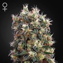 The Church (Greenhouse Seeds) feminizada