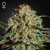 A.M.S. (Greenhouse Seeds) feminizada