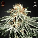 White Widow (Greenhouse Seeds) feminizada