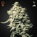 White Rhino (Greenhouse Seeds) feminizada