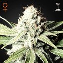 Great White Shark (Greenhouse Seeds) feminizada