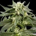 Himalaya Gold (Greenhouse Seeds) feminizada