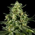 Himalaya Gold (Greenhouse Seeds) feminizada