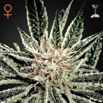 El Niño (Greenhouse Seeds) feminizada