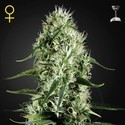 Super Silver Haze (Greenhouse Seeds) feminizada