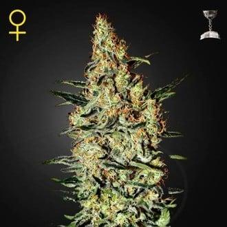 Neville's Haze (Greenhouse Seeds) feminizada