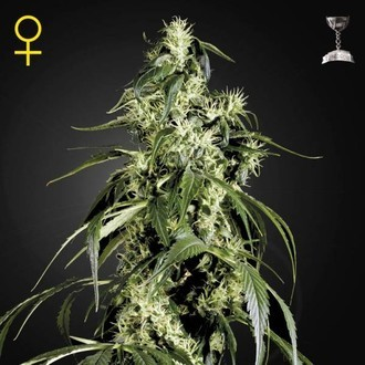 Arjan's Haze 1 (Greenhouse Seeds) feminizada