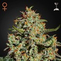 Big Bang (Greenhouse Seeds) feminizada