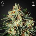 Cheese (Greenhouse Seeds) feminizada