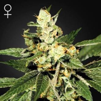 Train Wreck (Greenhouse Seeds) feminizada