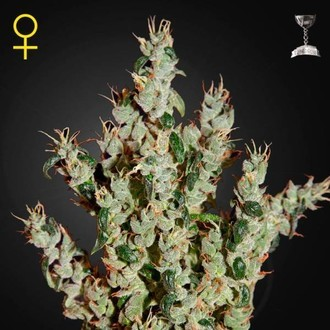 NL5 Haze Mist (Greenhouse Seeds) feminizada