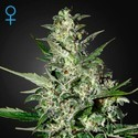 Super Critical Autoflowering (Greenhouse Seeds) feminizada