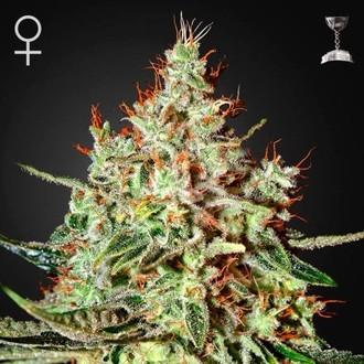 K-Train (Greenhouse Seeds) feminizada