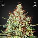 K-Train (Greenhouse Seeds) feminizada