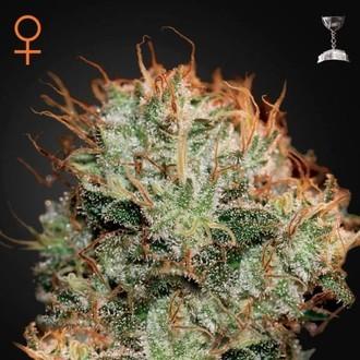 Kaia Kush (Greenhouse Seeds) feminizada