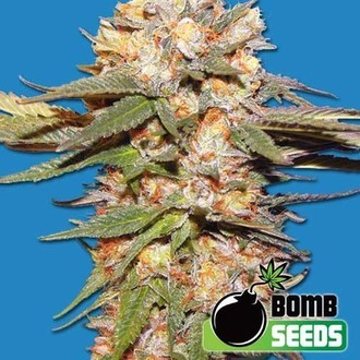 Big Bomb Auto (Bomb Seeds) feminizada