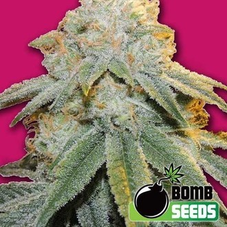Bubble Bomb (Bomb Seeds) feminizada
