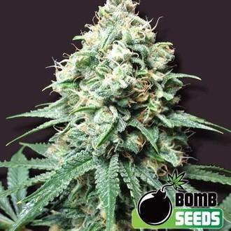 Kush Bomb (Bomb Seeds) feminizada
