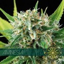 Amnesia (Vision Seeds) feminizada