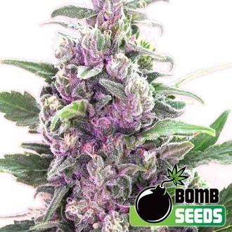 THC Bomb Auto (Bomb Seeds) feminizada